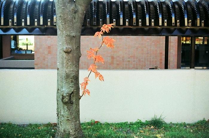 石楠花の黄葉とナナカマドの胴吹きとフィルムカメラの伝道_c0182775_16534669.jpg