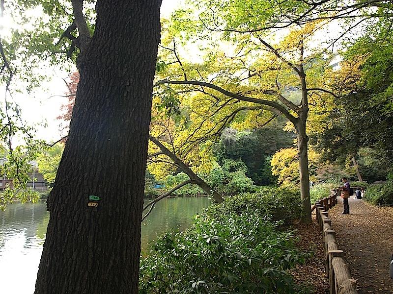 成蹊大学の欅並木の黄葉が見頃です。19日(日)18:30〜打ち上げ花火 井の頭公園紅葉情報_e0122680_22014632.jpg
