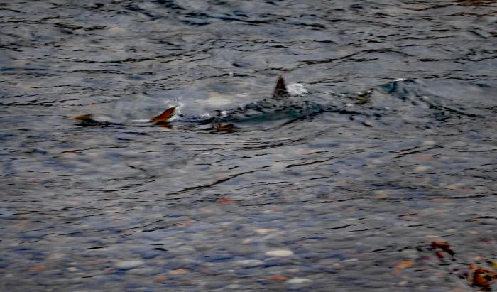 福島市荒川 「産卵している鮭」_d0106628_20002950.jpg
