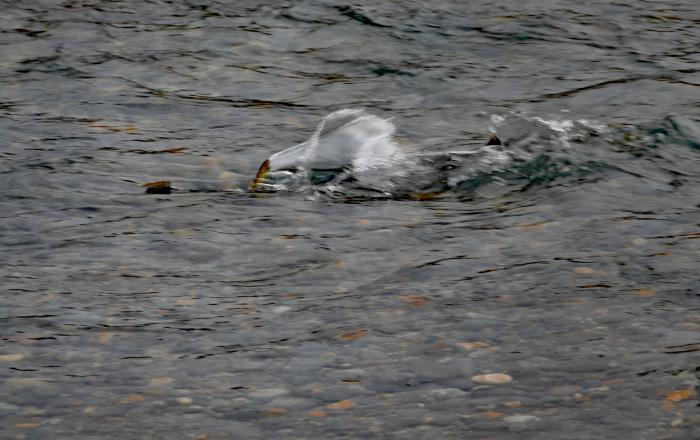 福島市荒川 「産卵している鮭」_d0106628_20004424.jpg