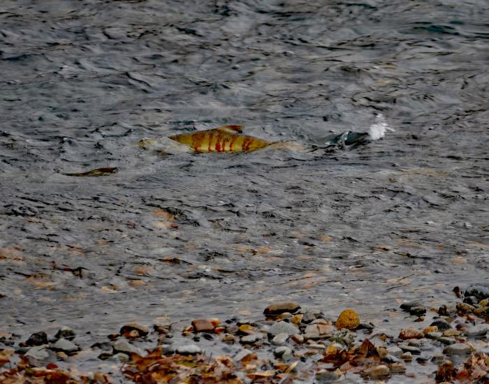 福島市荒川 「産卵している鮭」_d0106628_20010752.jpg