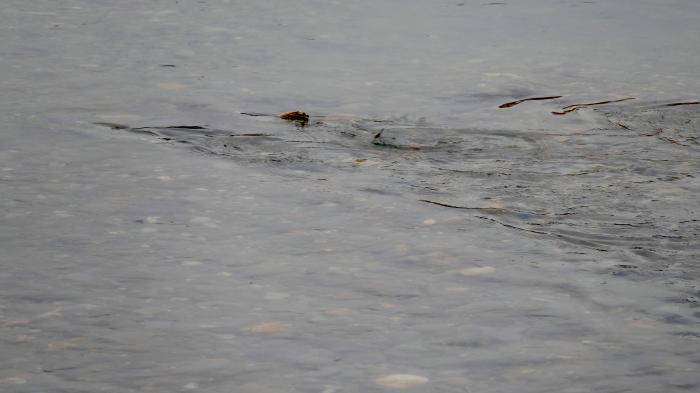 福島市荒川 「産卵している鮭」_d0106628_20012547.jpg