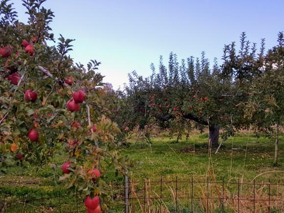 紅葉を望みながらりんご狩り♪_d0269832_08494069.jpeg