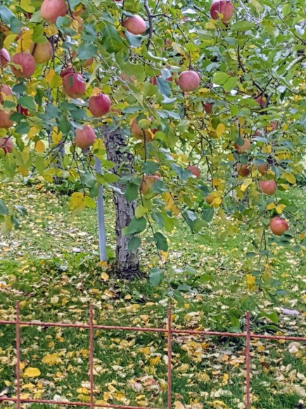 紅葉を望みながらりんご狩り♪_d0269832_08503794.jpeg