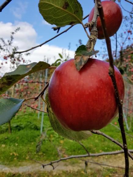 紅葉を望みながらりんご狩り♪_d0269832_08590737.jpeg