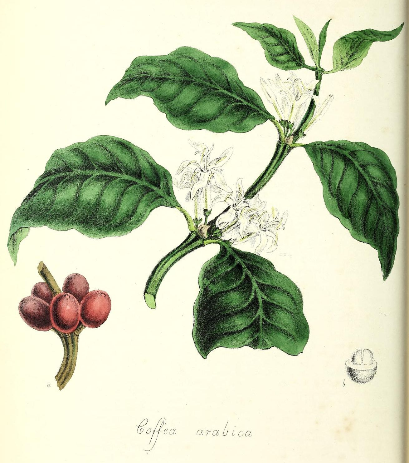 外が寒い中、室内ではコーヒーの実が熟す_c0025115_21031544.jpg