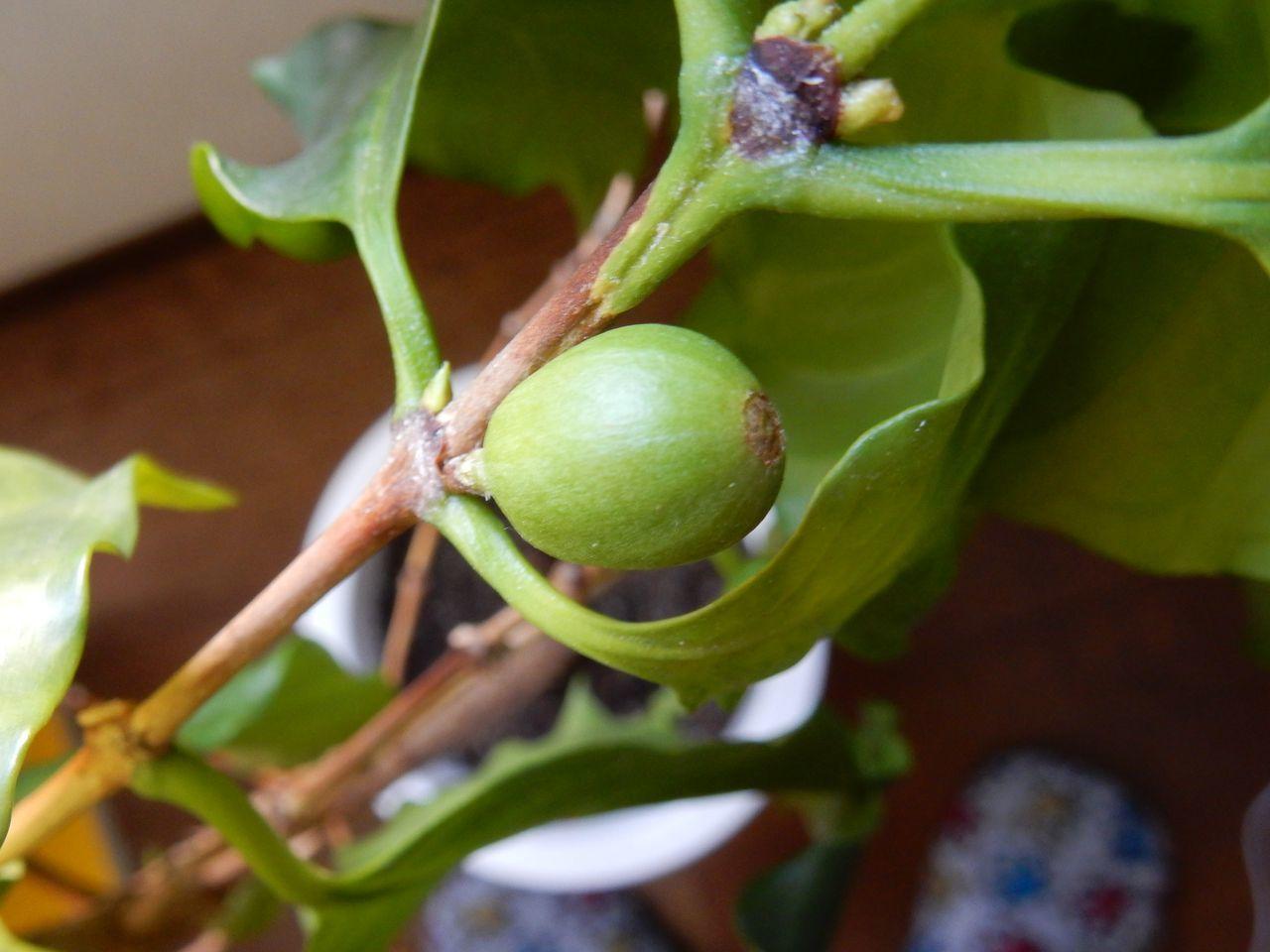 外が寒い中、室内ではコーヒーの実が熟す_c0025115_21033497.jpg