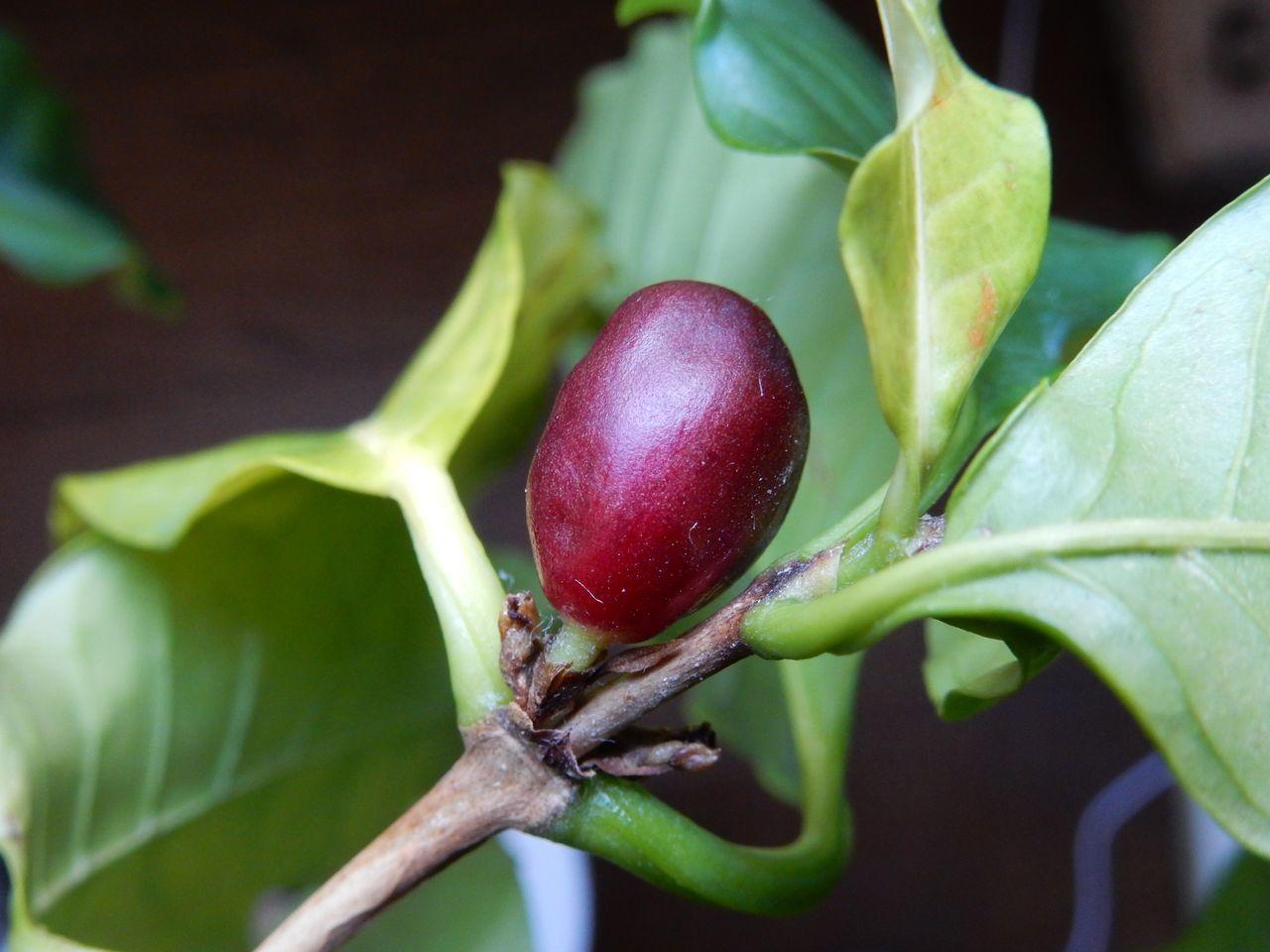 外が寒い中、室内ではコーヒーの実が熟す_c0025115_21034124.jpg
