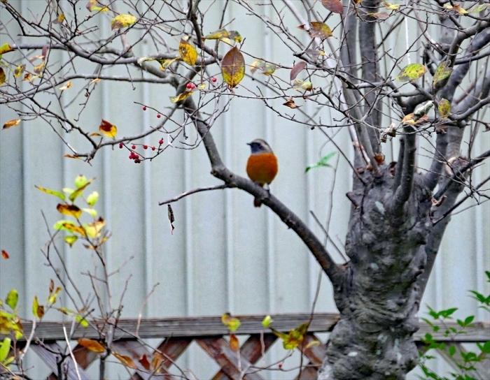 福島市 自宅庭 今年も渡ってきました「ジョウビタキ」♂_d0106628_19165068.jpg