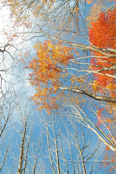 Autumn*memory②**白樺の先のブナ_b0197639_17324157.jpg