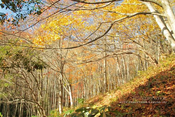 Autumn*memory②**白樺の先のブナ_b0197639_17324462.jpg