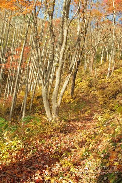 Autumn*memory②**白樺の先のブナ_b0197639_17342709.jpg