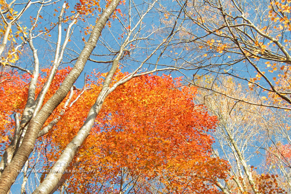 Autumn*memory②**白樺の先のブナ_b0197639_17384205.jpg