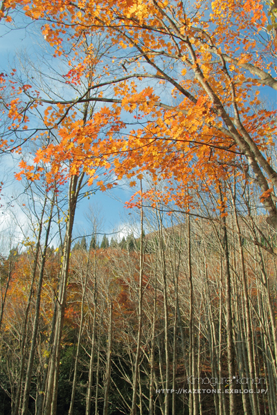 Autumn*memory②**白樺の先のブナ_b0197639_17394165.jpg