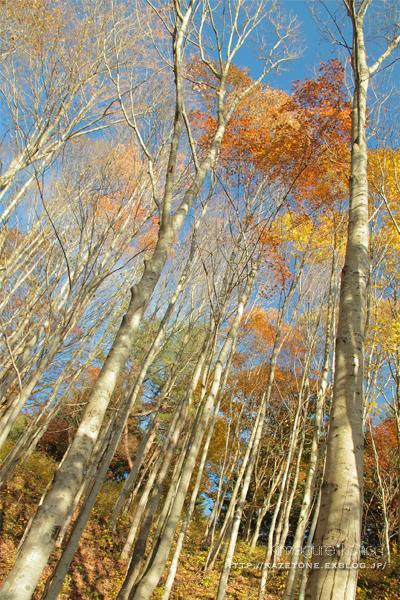 Autumn*memory②**白樺の先のブナ_b0197639_17403610.jpg