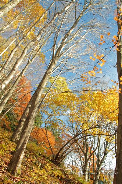 Autumn*memory②**白樺の先のブナ_b0197639_17412786.jpg