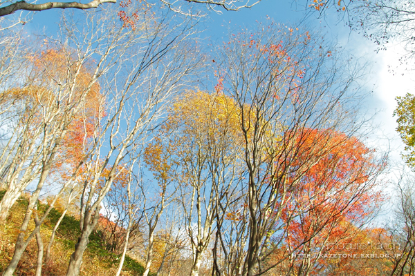 Autumn*memory②**白樺の先のブナ_b0197639_17430164.jpg
