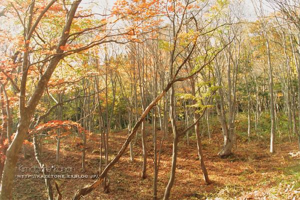Autumn*memory②**白樺の先のブナ_b0197639_17433703.jpg
