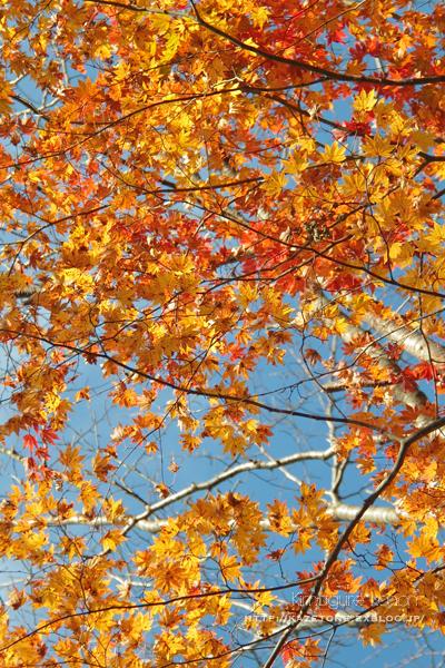 Autumn*memory②**白樺の先のブナ_b0197639_17464429.jpg