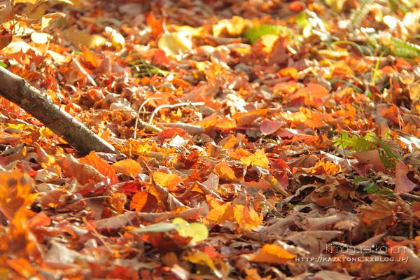 Autumn*memory②**白樺の先のブナ_b0197639_17472204.jpg