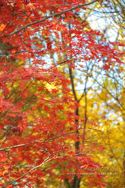 Autumn*memory②**白樺の先のブナ_b0197639_17543912.jpg