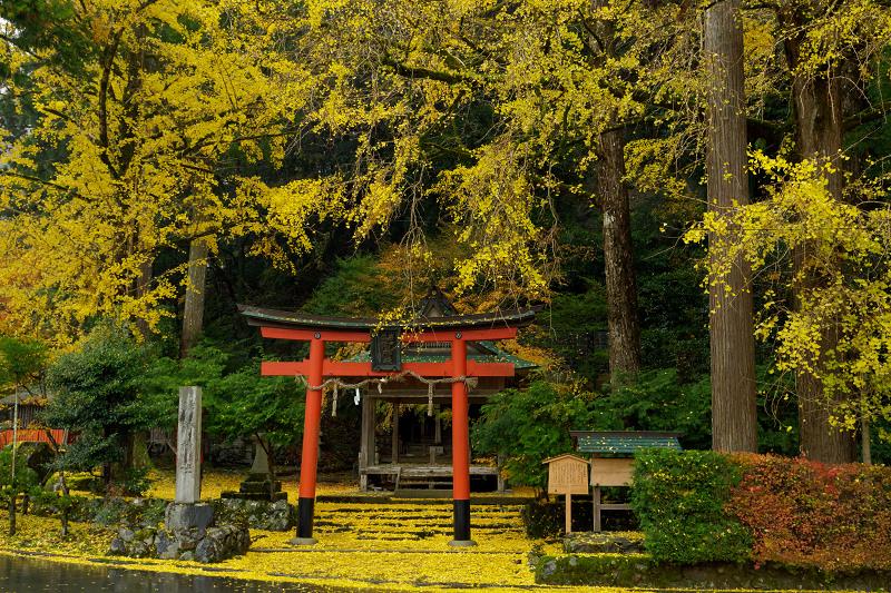 京都の紅葉2017 岩戸落葉神社の散り銀杏_f0155048_23312764.jpg