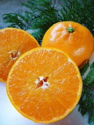 究極の柑橘「せとか」 寒さを感じさせ、冬の到来に向けハウスにビニールをはり、今年も順調に成長中!_a0254656_15195596.jpg