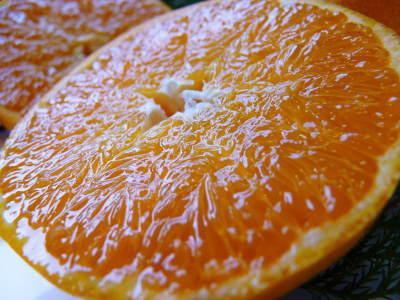 究極の柑橘「せとか」 寒さを感じさせ、冬の到来に向けハウスにビニールをはり、今年も順調に成長中!_a0254656_15231736.jpg