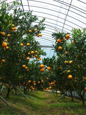 究極の柑橘「せとか」 寒さを感じさせ、冬の到来に向けハウスにビニールをはり、今年も順調に成長中!_a0254656_15353900.jpg