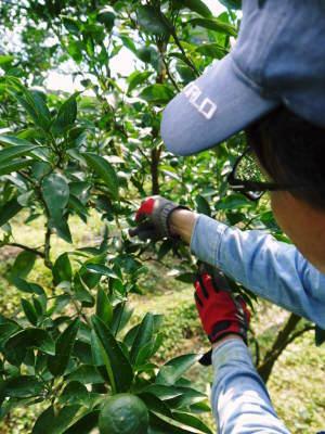 究極の柑橘「せとか」 寒さを感じさせ、冬の到来に向けハウスにビニールをはり、今年も順調に成長中!_a0254656_16292858.jpg