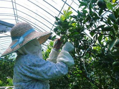 究極の柑橘「せとか」 寒さを感じさせ、冬の到来に向けハウスにビニールをはり、今年も順調に成長中!_a0254656_16331705.jpg