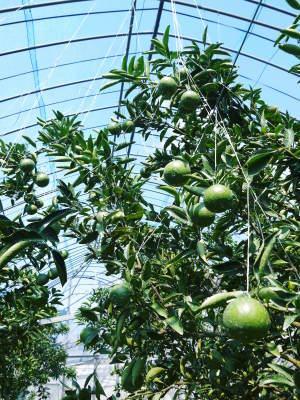 究極の柑橘「せとか」 寒さを感じさせ、冬の到来に向けハウスにビニールをはり、今年も順調に成長中!_a0254656_16355087.jpg
