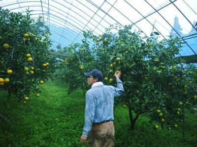 究極の柑橘「せとか」 寒さを感じさせ、冬の到来に向けハウスにビニールをはり、今年も順調に成長中!_a0254656_16385924.jpg