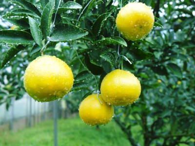 究極の柑橘「せとか」 寒さを感じさせ、冬の到来に向けハウスにビニールをはり、今年も順調に成長中!_a0254656_16405006.jpg