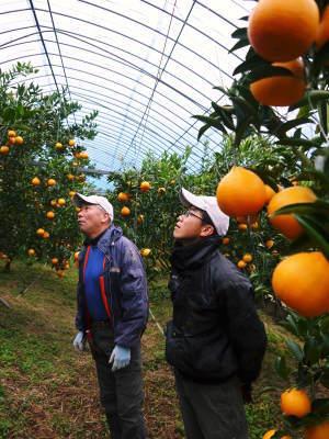 究極の柑橘「せとか」 寒さを感じさせ、冬の到来に向けハウスにビニールをはり、今年も順調に成長中!_a0254656_16444949.jpg