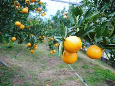 究極の柑橘「せとか」 寒さを感じさせ、冬の到来に向けハウスにビニールをはり、今年も順調に成長中!_a0254656_16572130.jpg