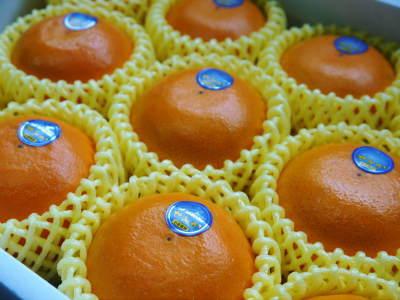 究極の柑橘「せとか」 寒さを感じさせ、冬の到来に向けハウスにビニールをはり、今年も順調に成長中!_a0254656_17085426.jpg