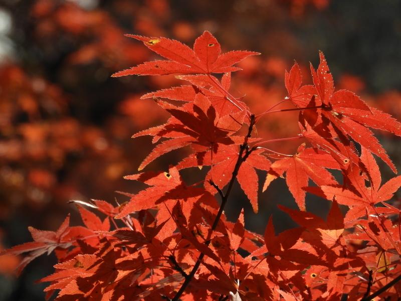 植物園 紅葉の盛り_e0048413_18444379.jpg