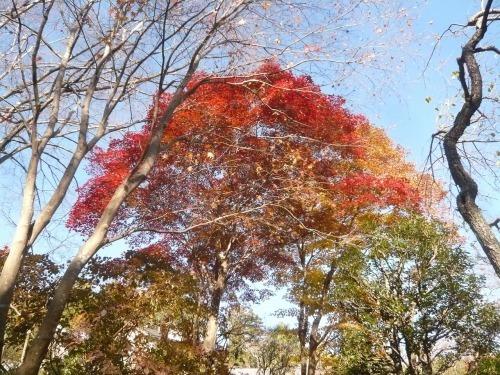 ポタリング 青梅の紅葉・臨川庭園_a0262093_12431300.jpg