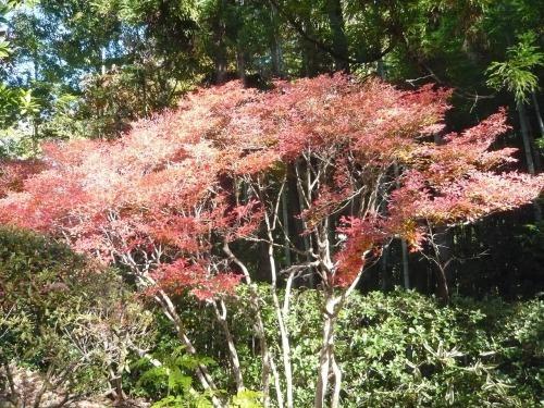 ポタリング 青梅の紅葉・臨川庭園_a0262093_12461513.jpg