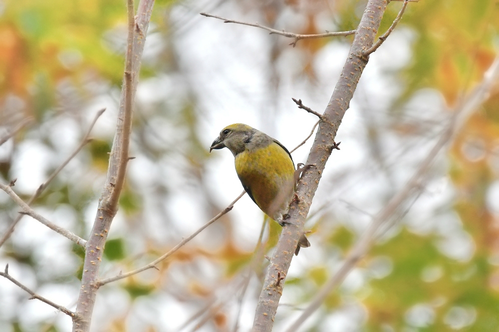 黄色い鳥さん2種 イスカ雌 ミヤマホオジロ_f0053272_23141388.jpg