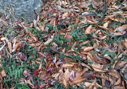 アトリエの庭のブナの枯れ葉_e0054299_15580667.jpg