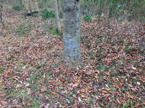 アトリエの庭のブナの枯れ葉_e0054299_16023047.jpg