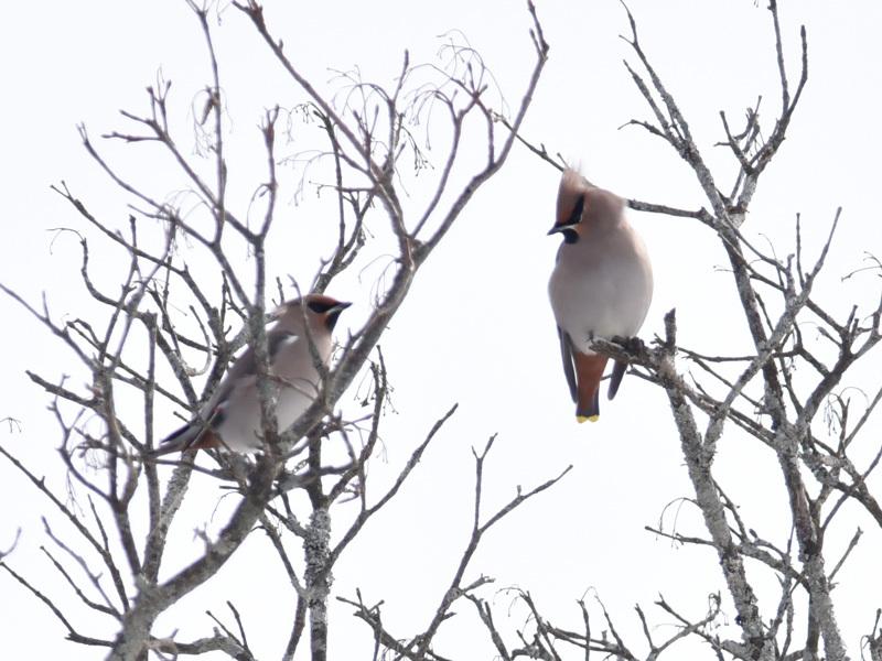 久しぶりに観た冬鳥_e0189021_11354018.jpg