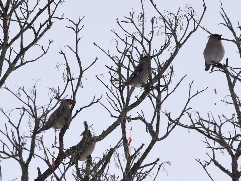久しぶりに観た冬鳥_e0189021_11354164.jpg