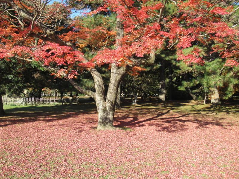 京都御苑 紅葉真っ盛り_e0048413_20550119.jpg