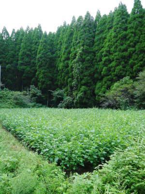 無農薬・無化学肥料で育てる「菊池水源産エゴマ」 平成29年度のエゴマの収穫や脱穀作業と第3回エゴマ部会_a0254656_08534267.jpg