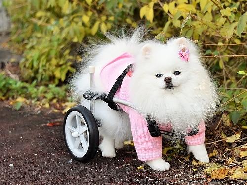 車椅子×ポメラニアン_d0360206_23140605.jpg