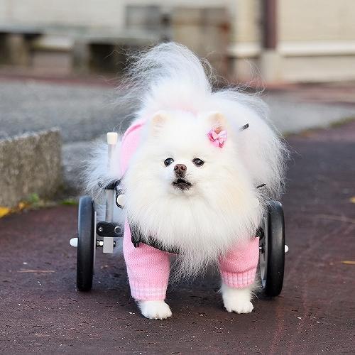 車椅子×ポメラニアン_d0360206_23141446.jpg