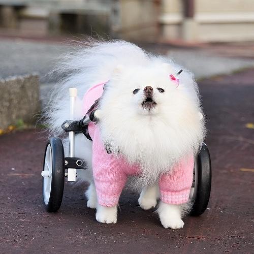 車椅子×ポメラニアン_d0360206_23141910.jpg
